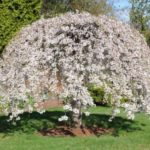 Snow Fountain Weeping Cherry